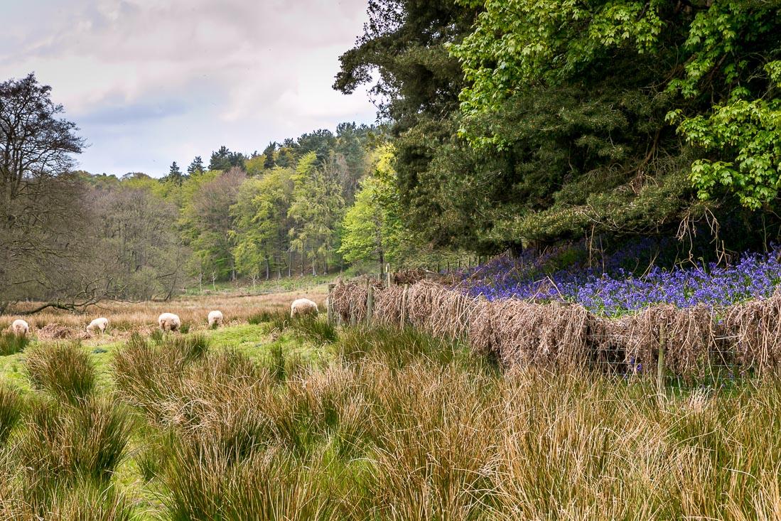 Flakebridge Wood walk, Flakebridge Wood bluebells