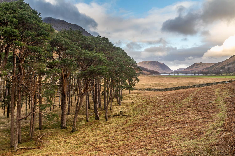Buttermere pines, Mellbreak