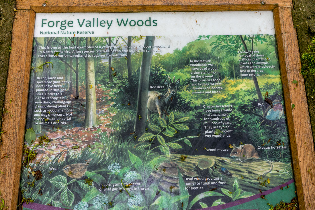 Forge Valley walk, Forge Valley Woods