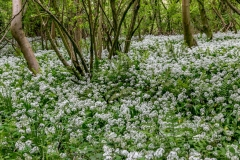 Forge Valley walk, Forge Valley wild garlic