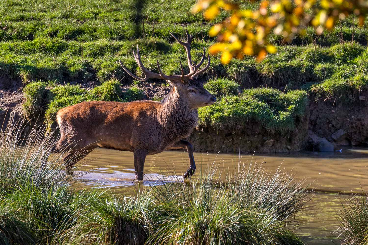 Fountains Abbey walk red deer stag