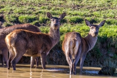 Fountains Abbey walk red deer