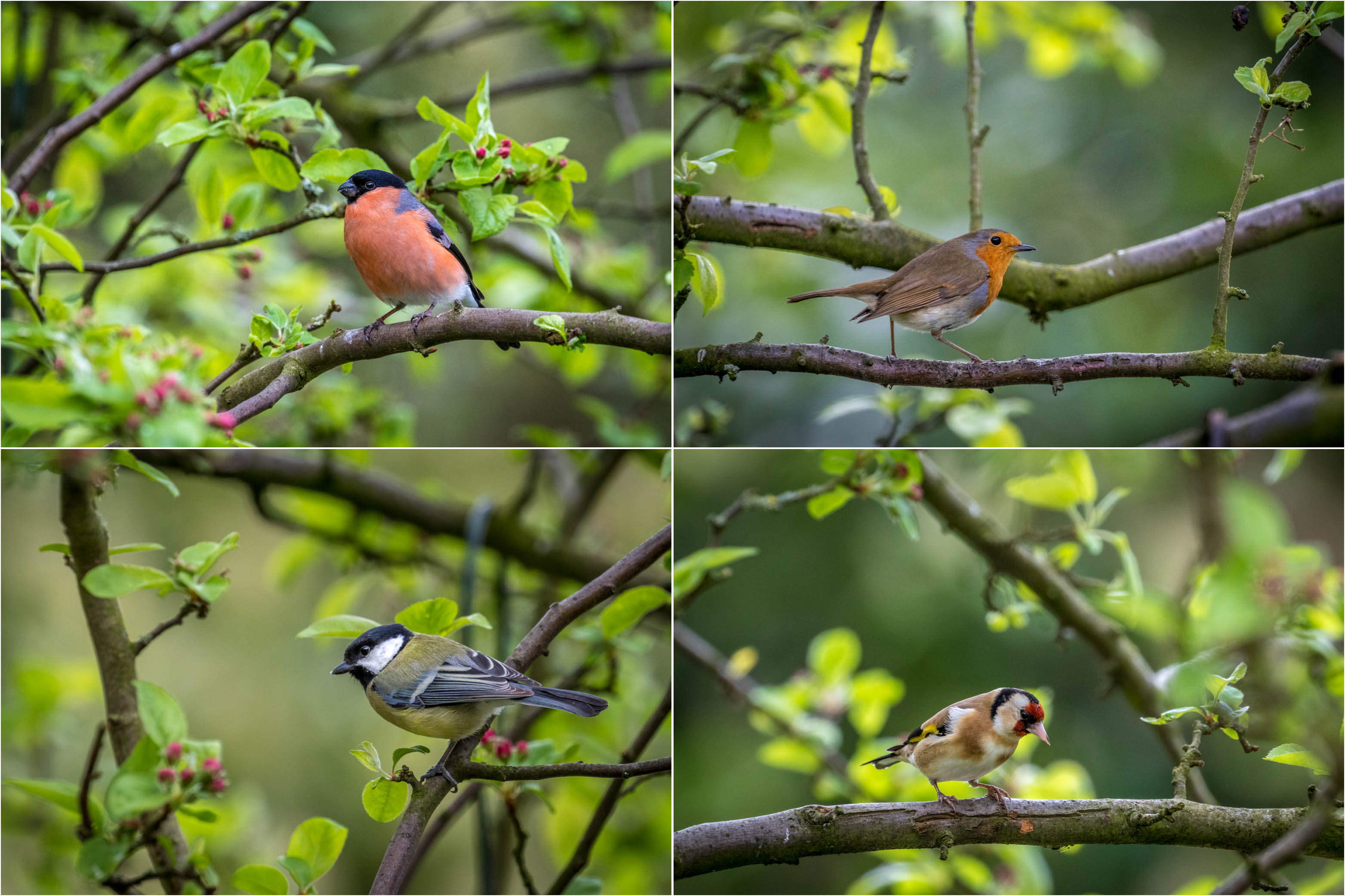 bullfinch, robin, great tit, goldfinch, garden birds