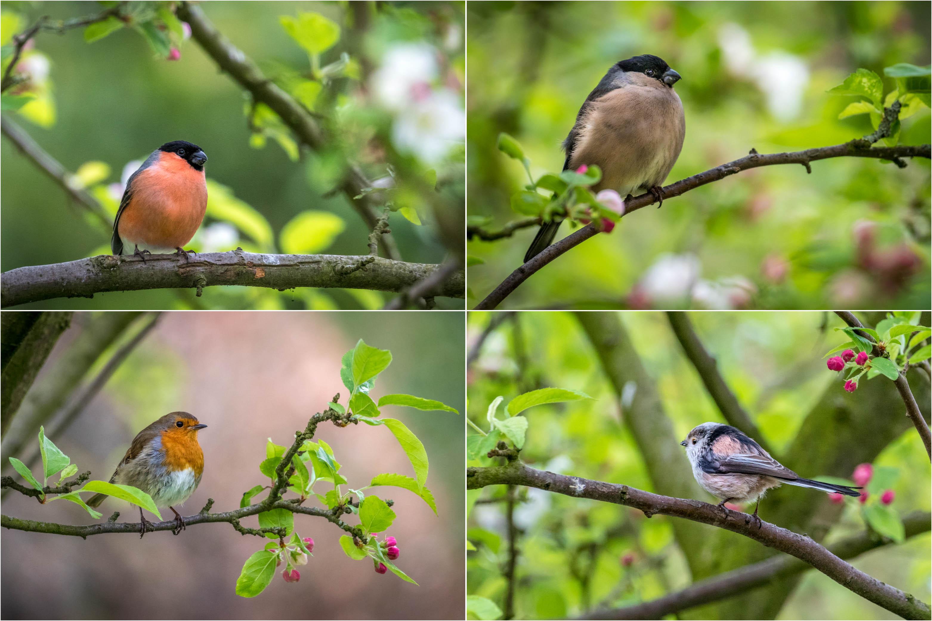 bullfinch, robin, long tailed tit