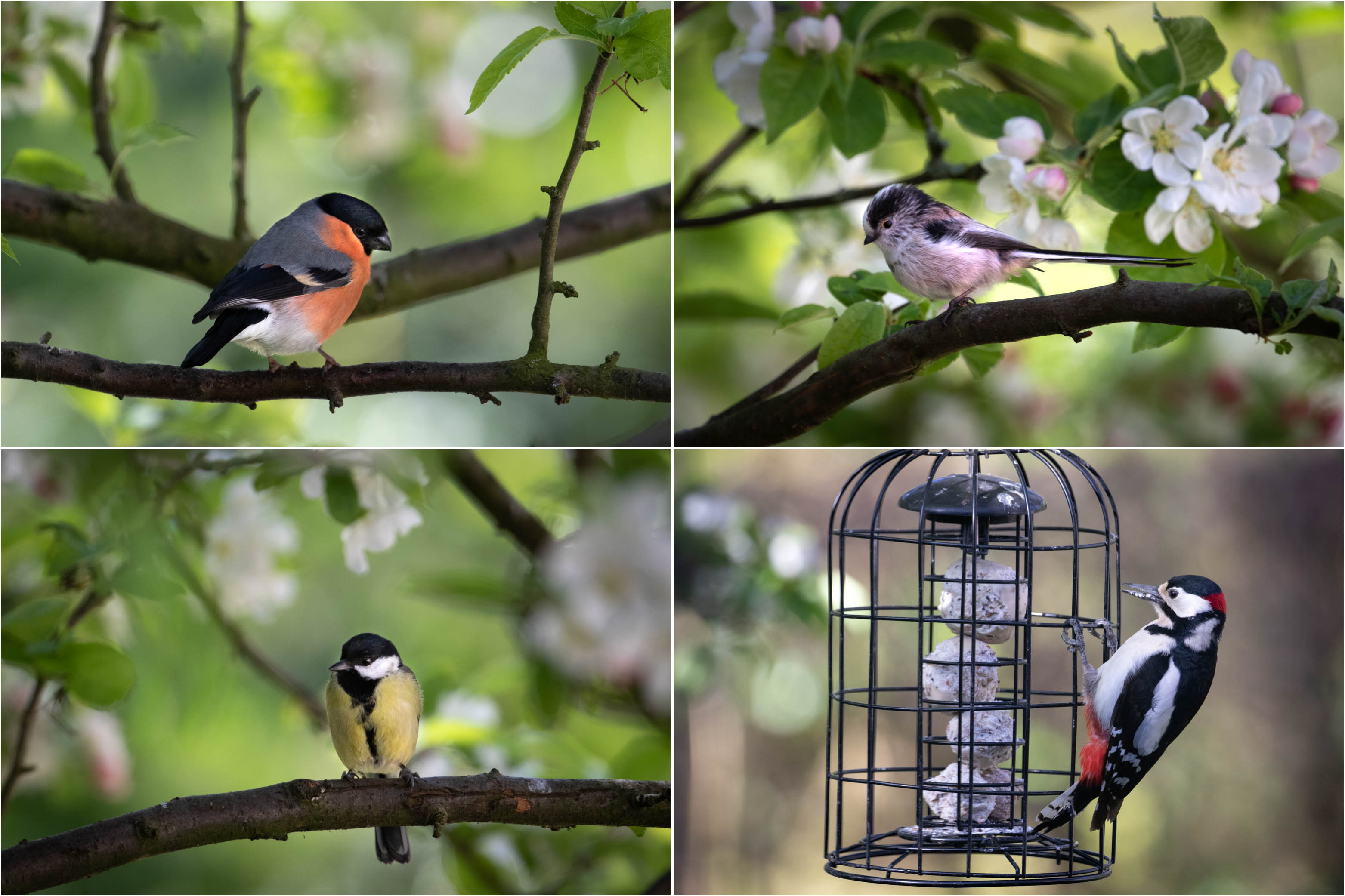 Bullfinch, long tailed tit, great tit, great spotted woodpecker