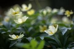 yellow, wood anemone
