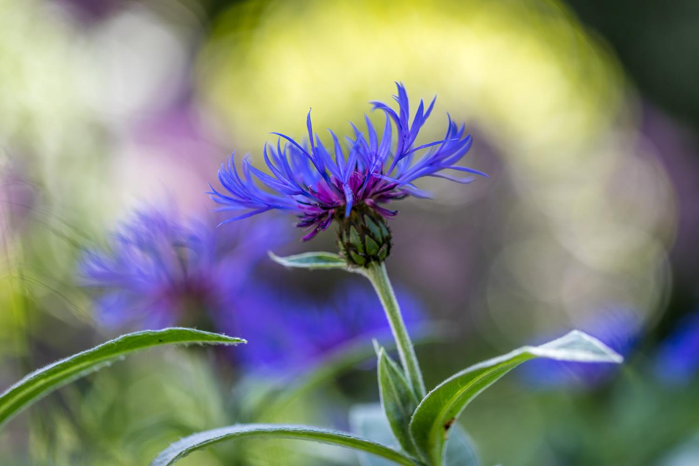 Centaurea Montana, Mountain Bluet