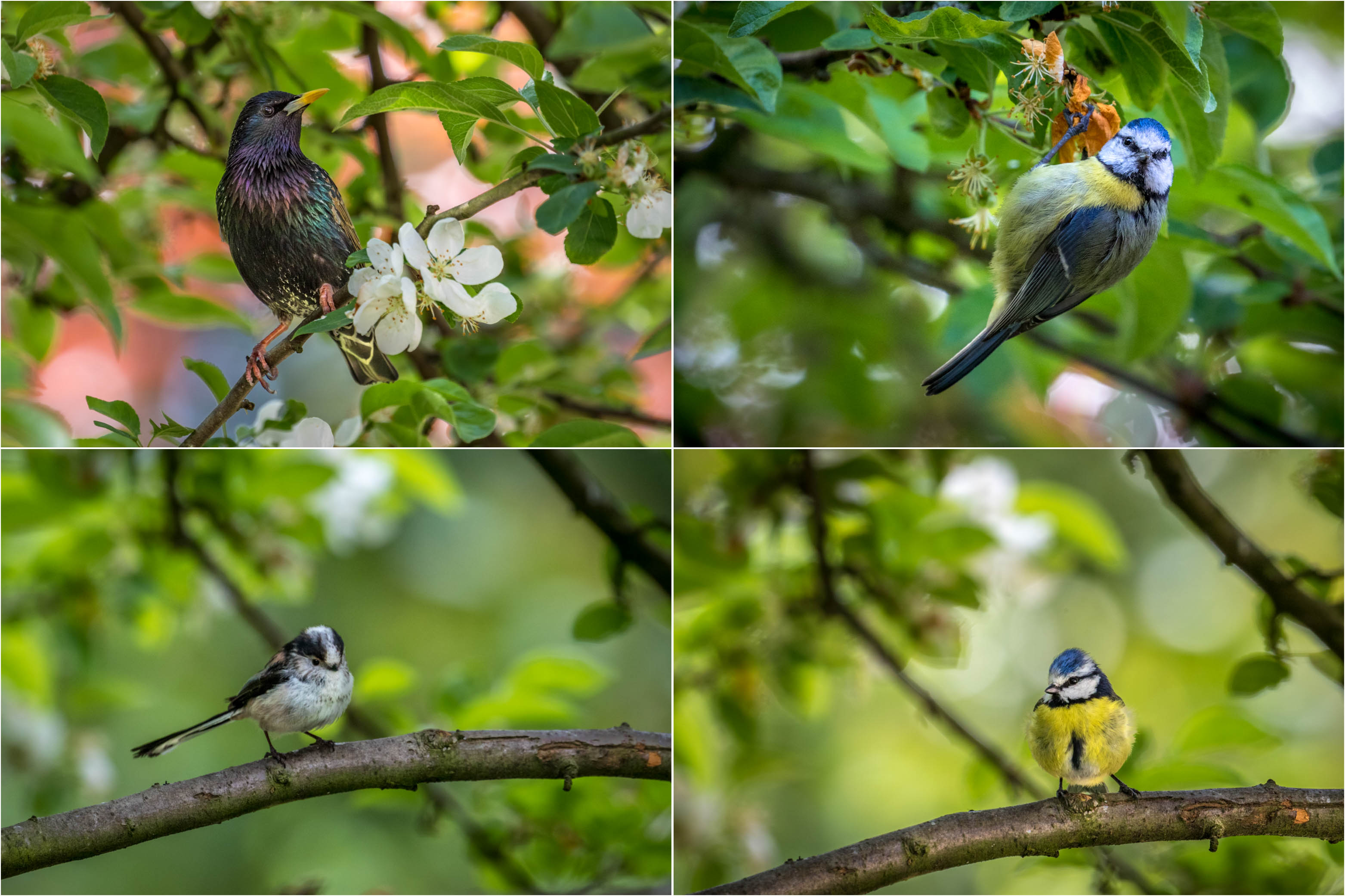 Starling, blue tit, long tailed tit and blue tit