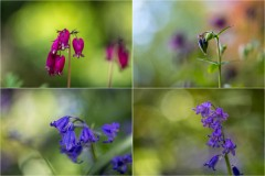 Bleeding heart, aquilegia, bluebell
