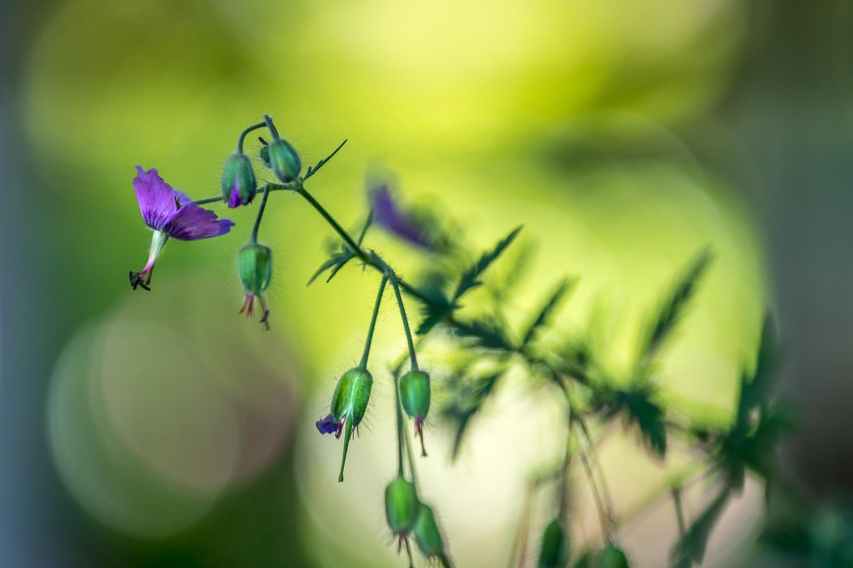 geranium, cranesbill
