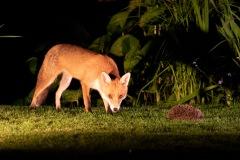 Fox, hedgehog