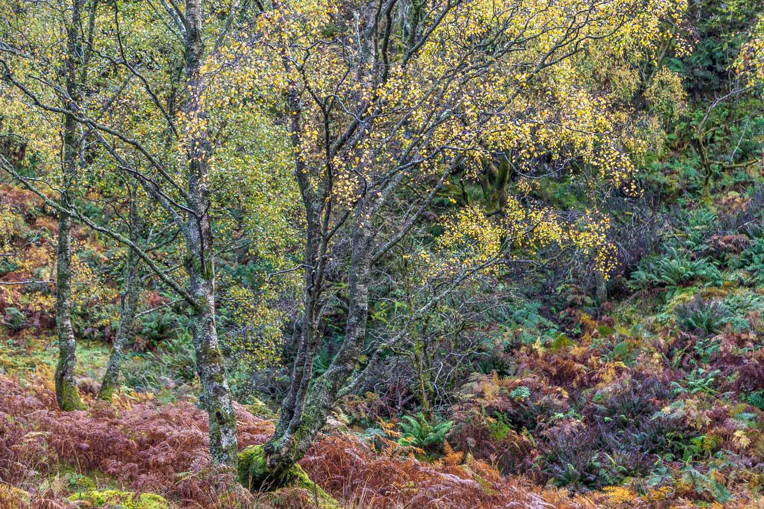 Birch tree, Borrowdale