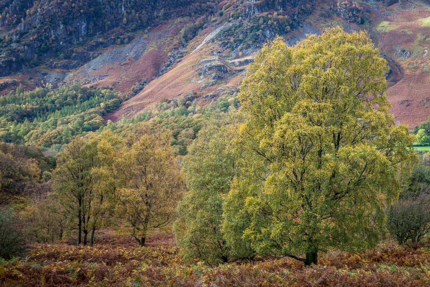 Borrowdale birches