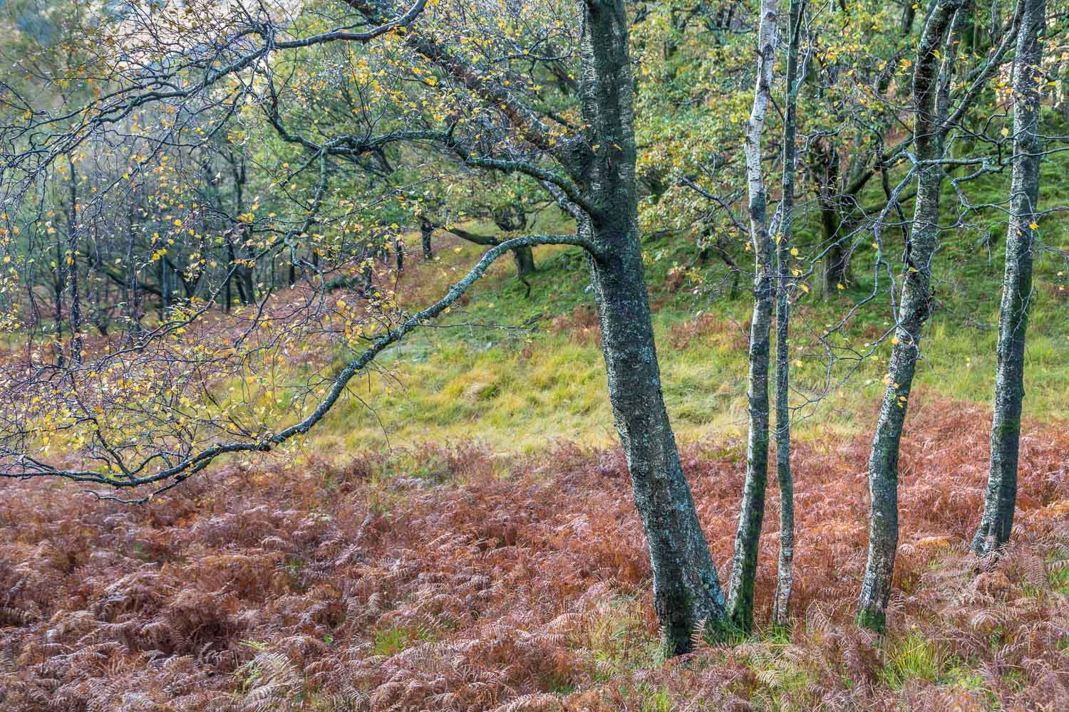 Birches in Borrowdale