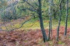 Birches in Borrowdale