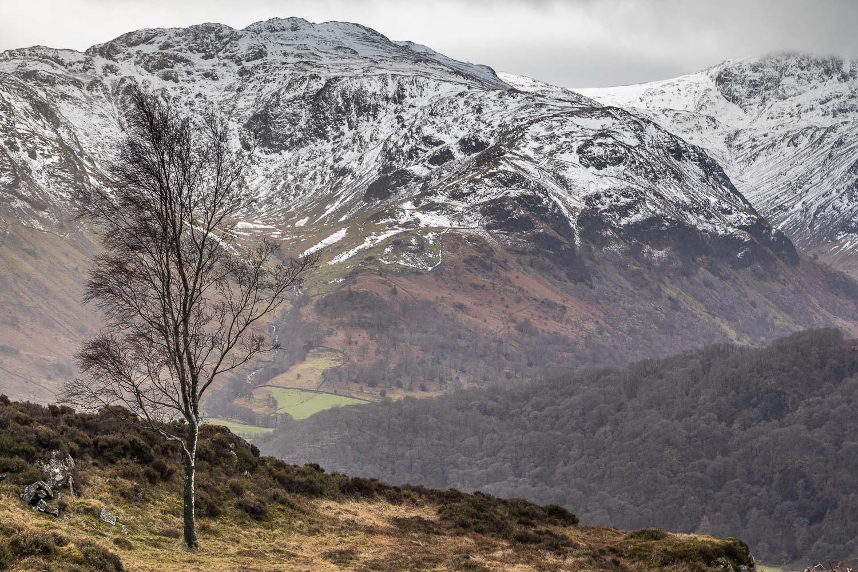 Grange Fell birch tree