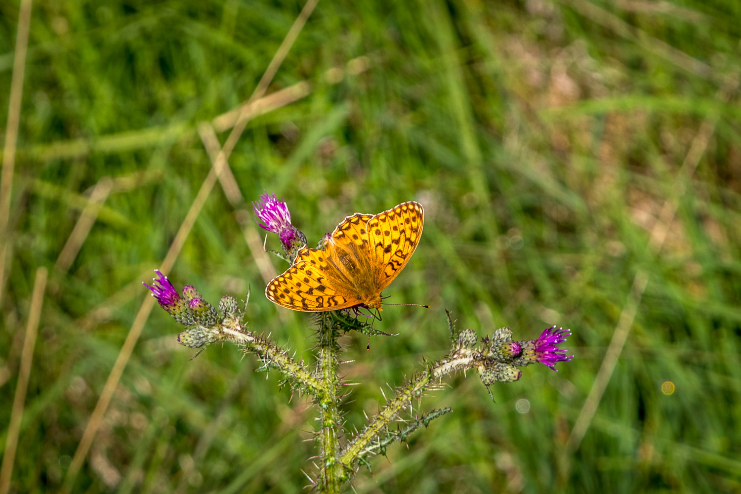 Dark Green Fritillary Lake District