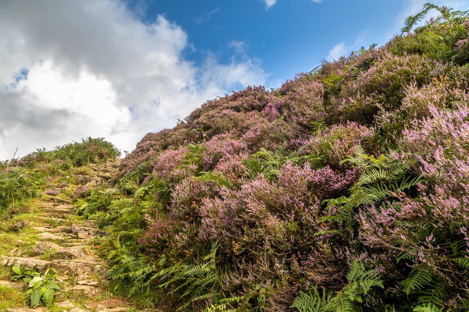 Great Crag heather