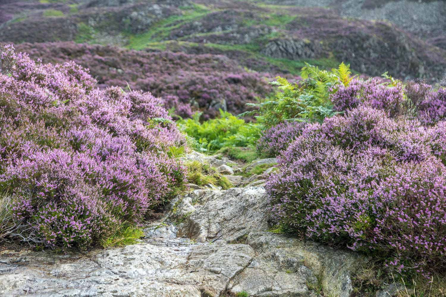 Great Crag walk, heather