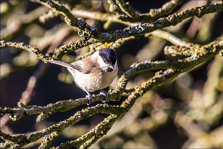Willow tit or Marsh tit Hackness