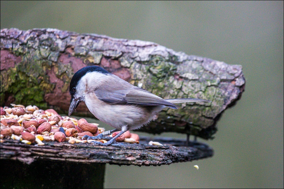Willow tit or marsh tit, Birdwatchers car park, Forge Valley