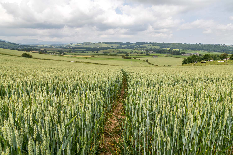 Heughscar Hill walk, Celleron