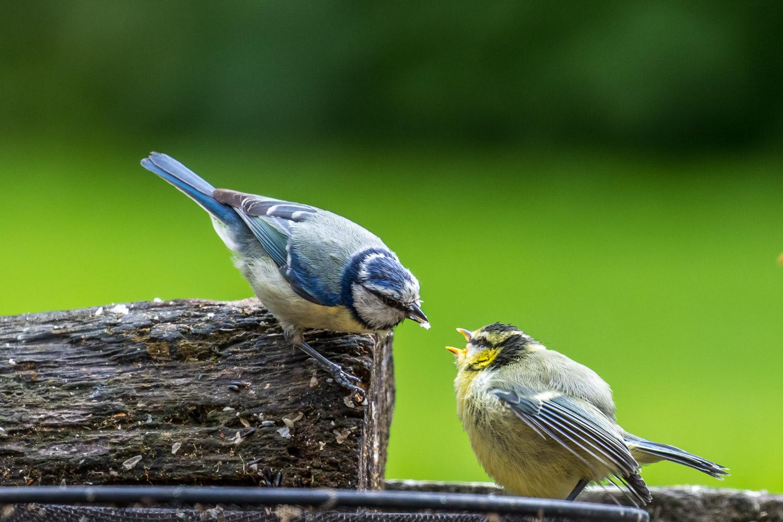 Young blue tit Lake District