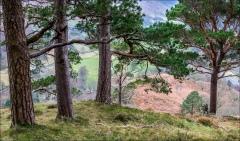 High Rigg pines