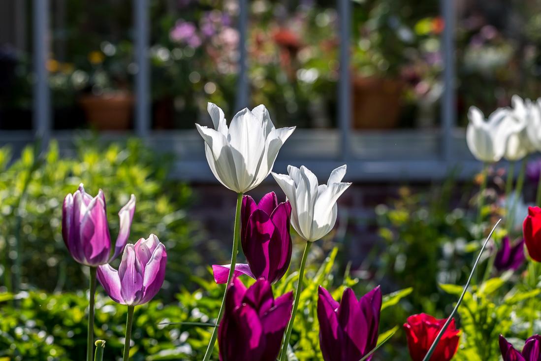 Holehird Gardens, tulips