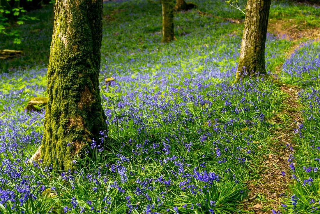 Holehird Gardens bluebells