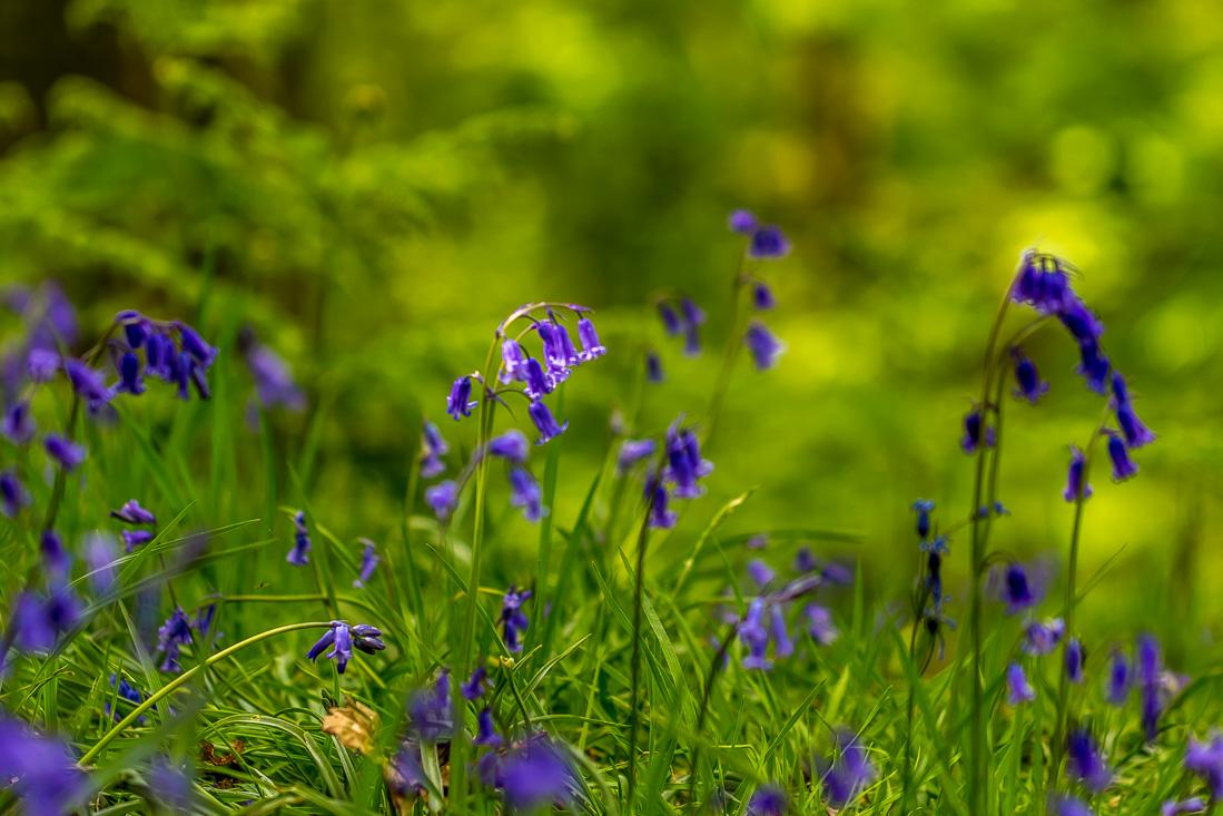 Holehird Gardens walk, bluebells
