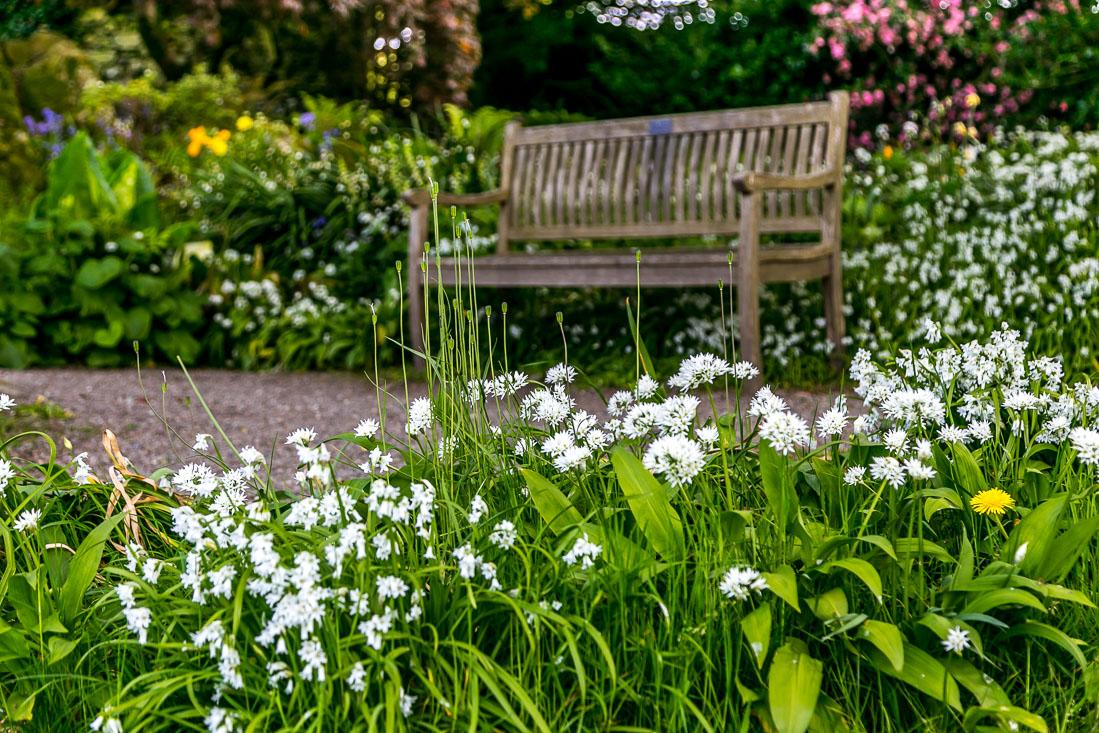Holehird Gardens walk, wild garlic