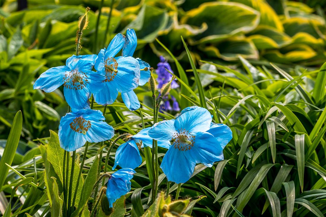 Holehird Gardens, Himalayan blue poppy