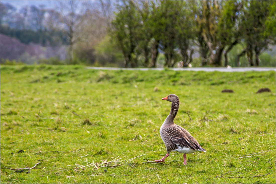 Greylag Goose, Loweswater