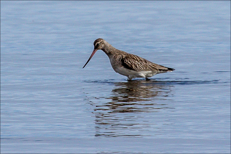 Bar Tailed Godwit Holy Island