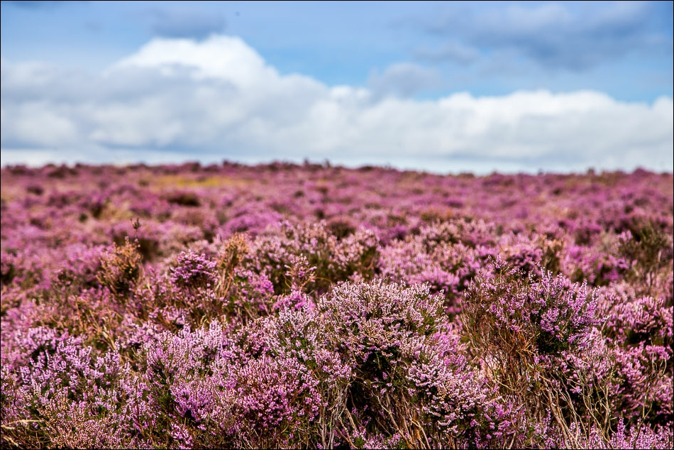 Levisham Moor heather