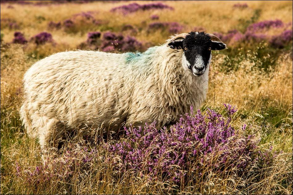Levisham Moor sheep