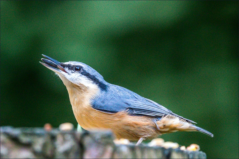 irdwatcher's car park Forge Valley, nuthatch