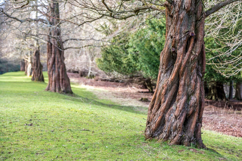 dawn redwood, Hulne Park