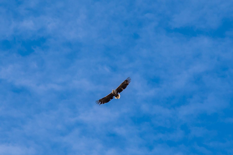 White tailed eagle, Justadtinden walk, Lofoten
