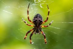 Spider corfu