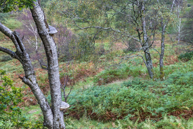 Bracket fungus, birch