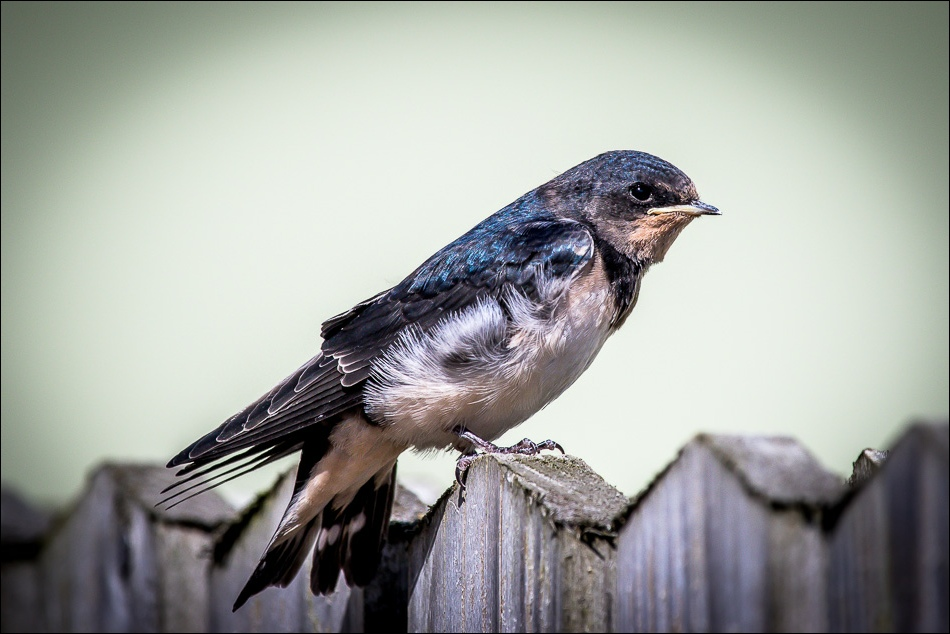 Young swallow at Drewton