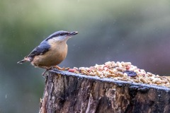nuthatch Lake District