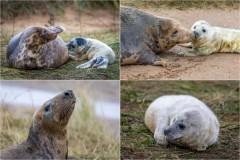 Donna Nook. Grey seals