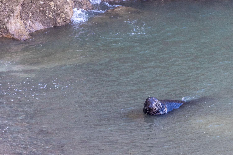 Little Orme, Angle Bay,, seal