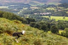 Lorton walk, herdwick