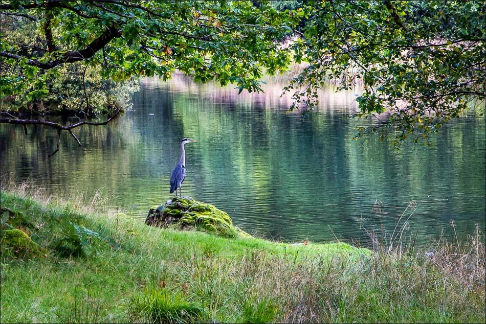 Heron, Rydal Water