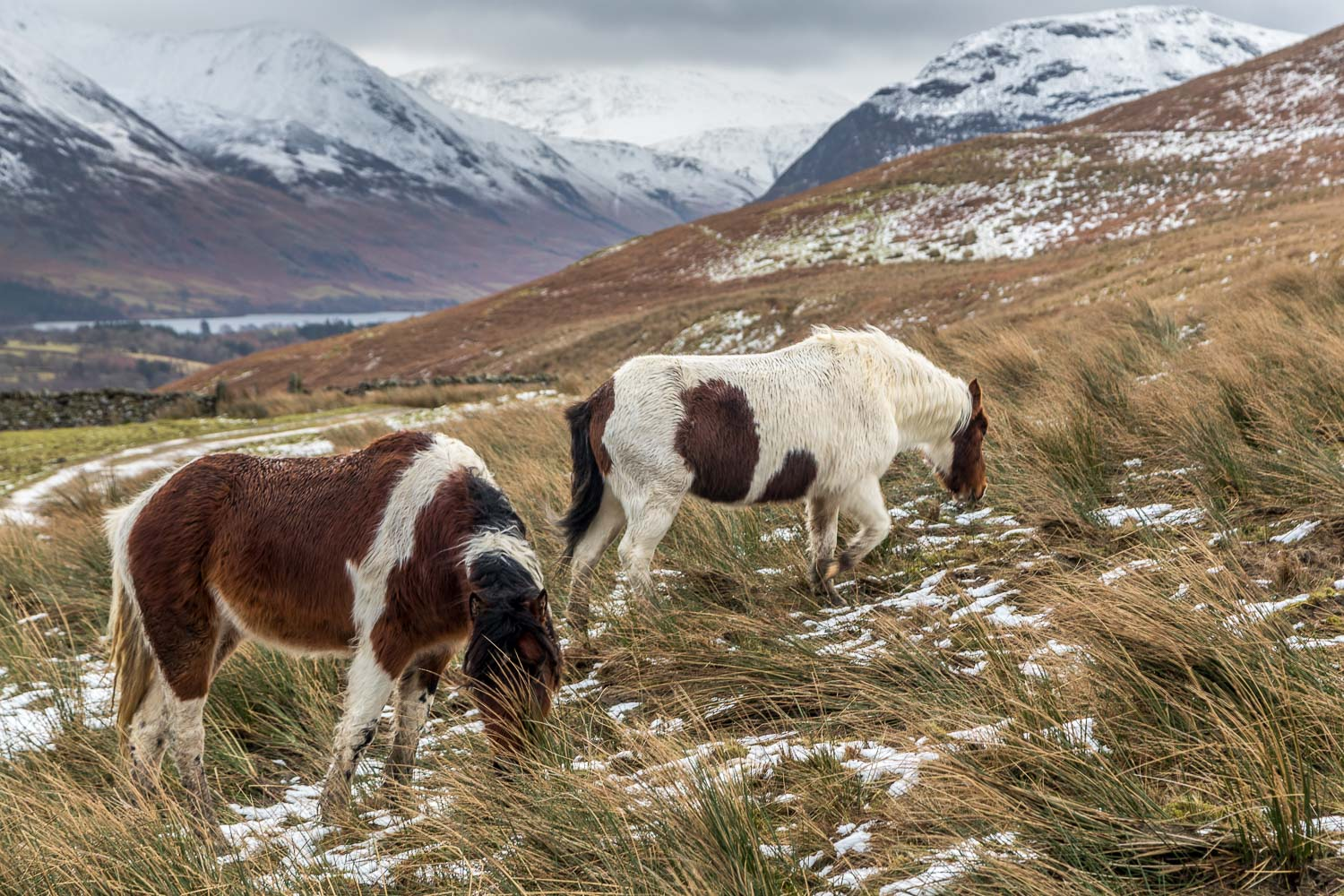 Loweswater fell ponies