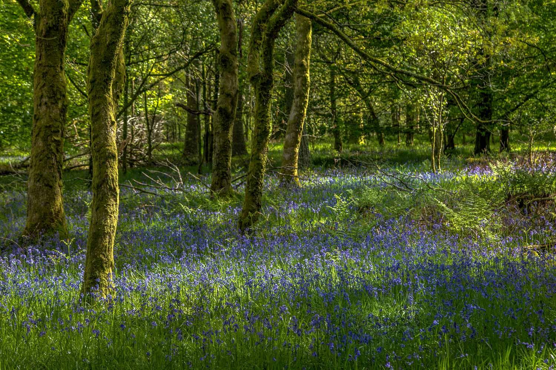 Holme Wood, bluebells